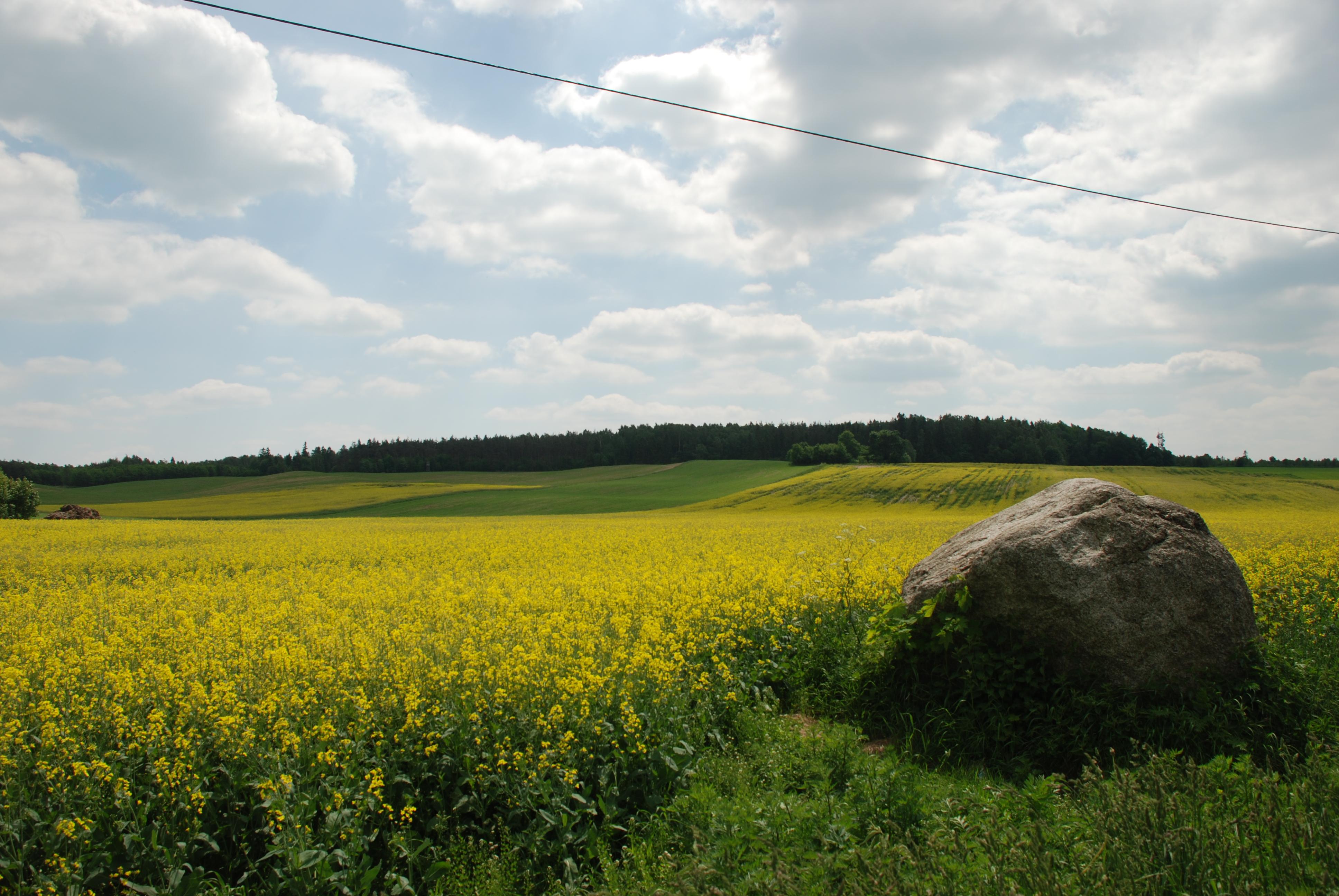 Rapsfeld in Polen – Allergieauslöser bei Heuschnupfen, Foto: Brigitte Jäger-Dabek