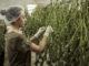 Cannabis Anbau Polen
