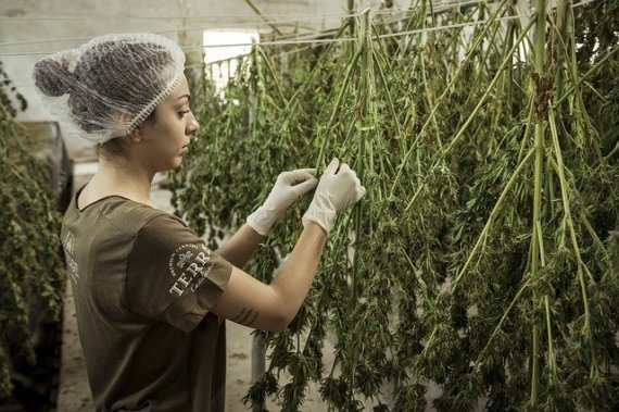 Cannabis-Verarbeitung - Ist cannabis in Polen legal?
